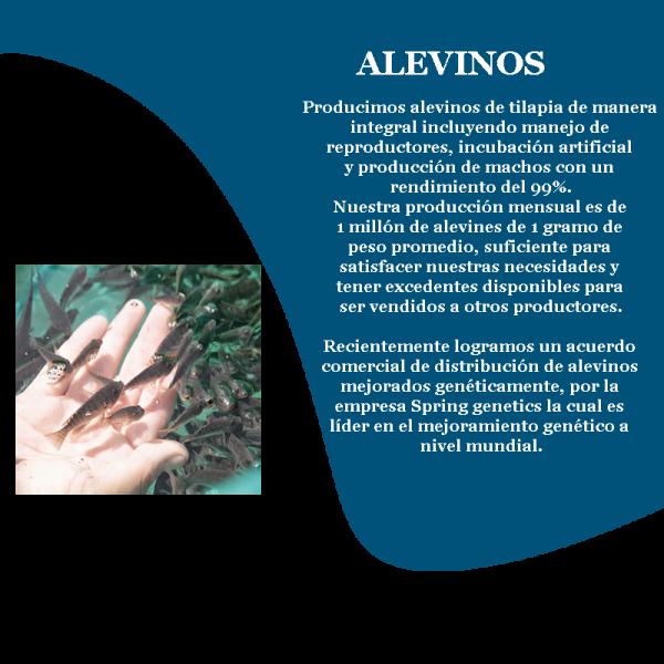 camaron_alevinos_prd_4