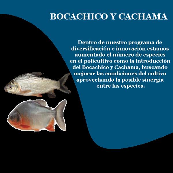 camaron_bocach_cacha_prd_3